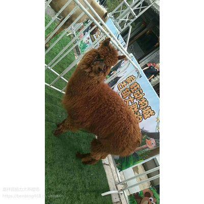 羊驼出售哪里有羊驼羊驼租赁山东昊源羊驼租赁