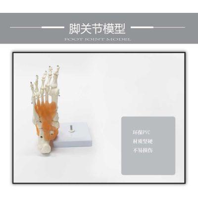自然大脚关节模型带韧带脚关节模型脚关节胫骨足骨模型