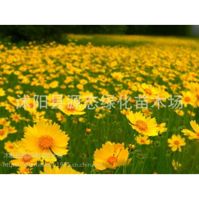 批发金鸡菊种子 盆栽植物 绿化种子 园艺草坪花种 景观种子