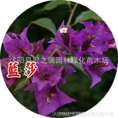 蓝莎三角梅花卉盆栽三角梅大苗树苗室内外阳台庭院爬藤植物