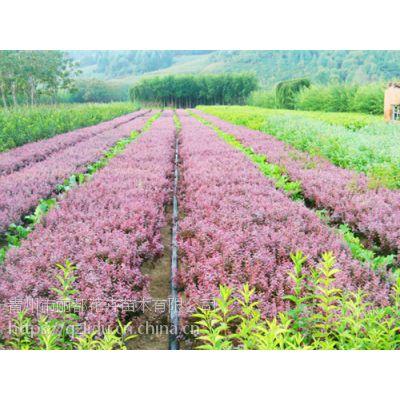 青州丽都花卉 红叶小檗小苗 红叶小檗哪家好 欢迎选购