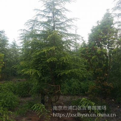 4米雪松树价格5米雪松苗多少钱一棵6米南京雪松价格