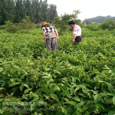 山东省核桃苗价格 核桃苗新品种签订合同