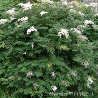 批发丛生珍珠梅小苗 规格齐全 珍珠梅苗观花植物 工程绿化