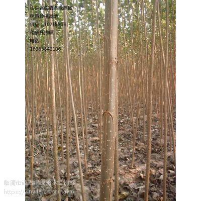 杨树苗种植的方法