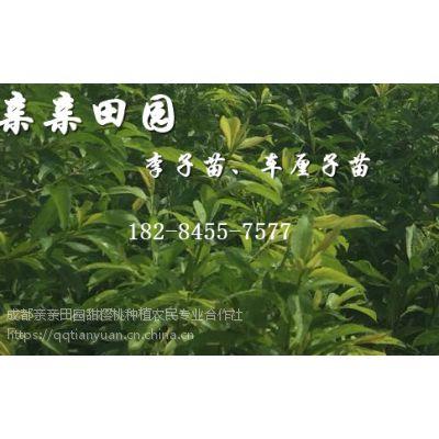 脆红李子苗出售价格,脆红李树苗批发多少钱一株