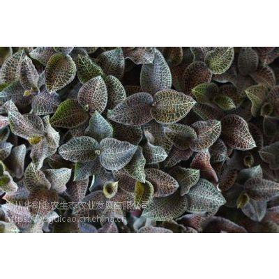 御贵草金线莲品种更优质 生长周期更短