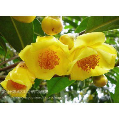 供应正宗防城港金花茶苗茶树苗 品种种植优质