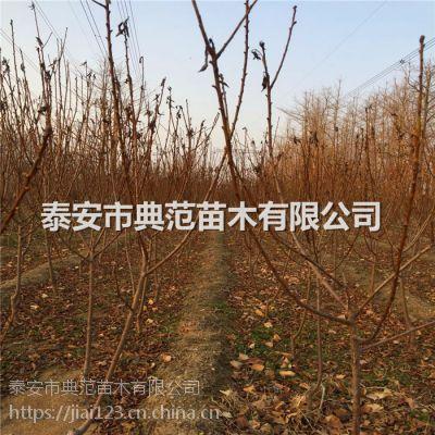早熟李子苗多少钱一棵 早熟李子苗品种介绍
