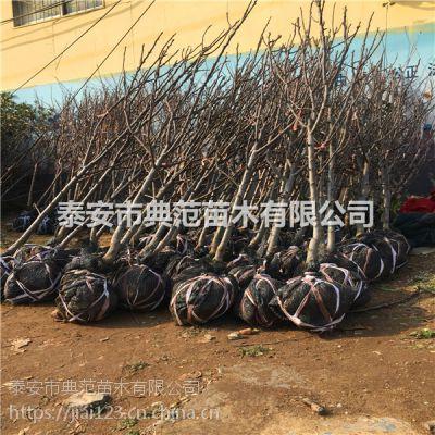 采摘园梨树苗价格 3公分4公分5公分梨树价格