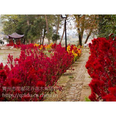 青州丽都 红色鸡冠花 鸡冠花产地 热销