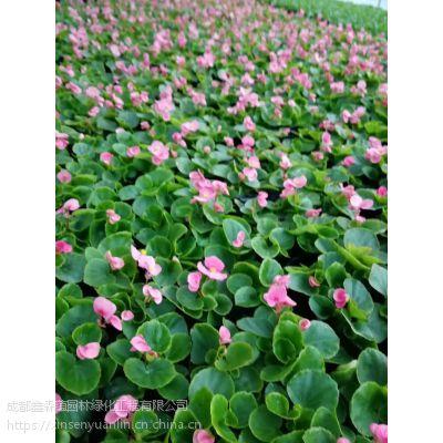 比格海棠种植基地出售哦,四季海棠工程苗大量上市了