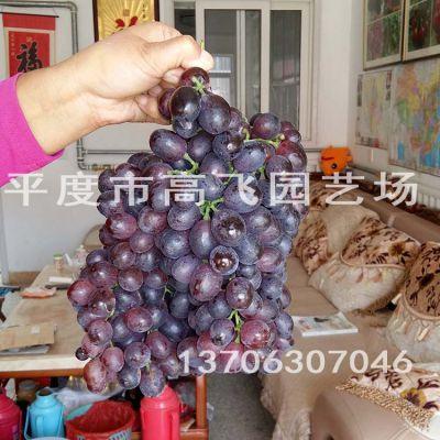 无核红宝石 弗雷无核葡萄苗 新品种葡萄苗