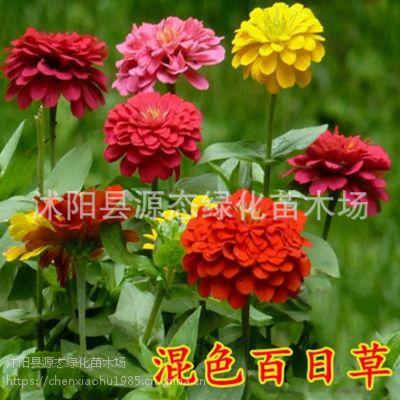 批发百日草种子 百日菊种子 四季播种重瓣大花 景观花卉种子易活