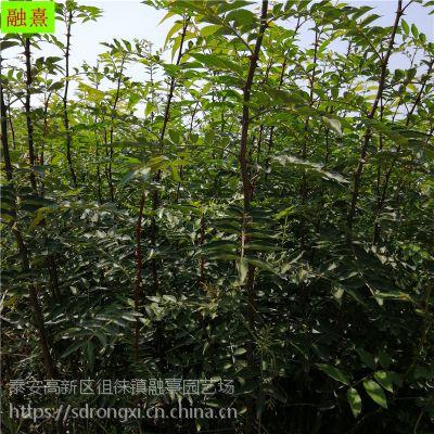 1年生四川大红袍花椒苗种植基地 02 03 04 05 1公分花椒苗产量怎么样