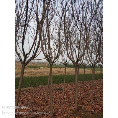 6公分樱花树苗木 6公分樱花树什么价格