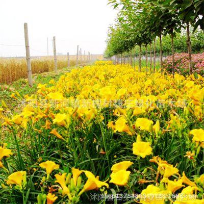 金娃娃萱草 园林景观盆栽常绿萱草 各种绿化植物水生花卉