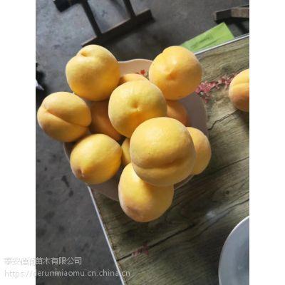 泰安黄金蜜二号黄桃苗、早熟黄金蜜二号黄桃苗