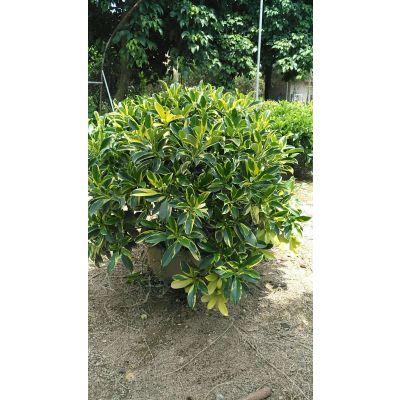 云南移栽金叶非洲茉莉盆栽观赏,丽江金叶非洲茉莉批发商