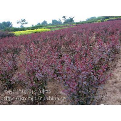 你可能不知道红叶小檗哪里便宜 江苏红叶小檗供应商告诉您可靠信息