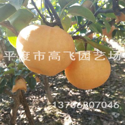 秋月梨树苗 晚熟梨树苗 基地出售