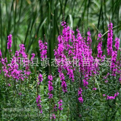 批发千屈菜种子 水枝柳对叶莲 散装花卉种子四季易种耐热耐寒耐湿