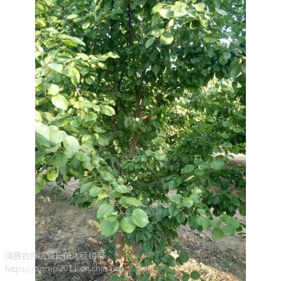 **10公分杏树+12公分杏树产地==15公分杏树直销