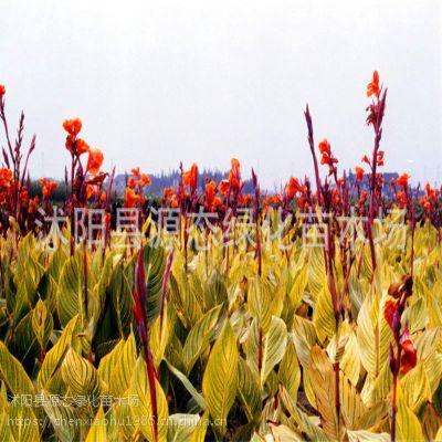 供应地被植物 花叶美人蕉 大量出售 花叶美人蕉 水生美人蕉