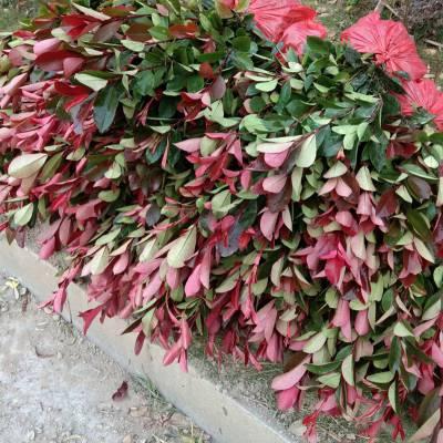 供应 红叶石楠 园林绿化工程用苗木 色块小苗 苗圃价格