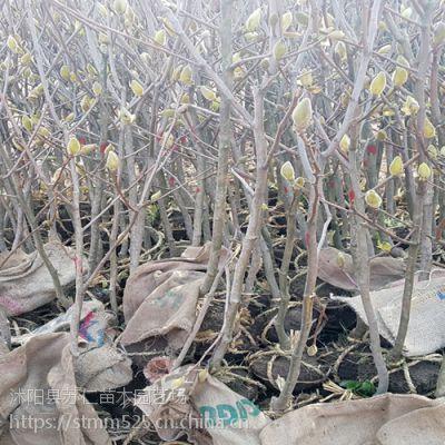 观赏风景树2-10公分玉兰树苗价格