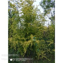 A级金叶榆苗木,大量供应A级金叶榆苗木