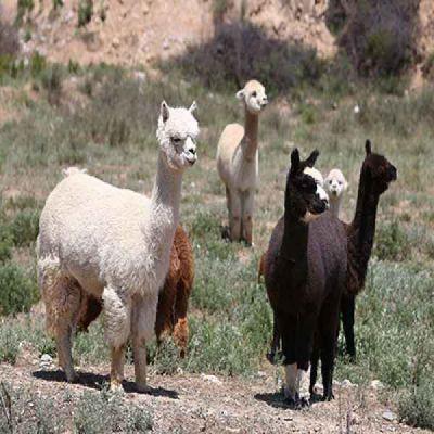 广州羊驼销售