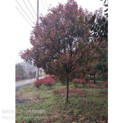 江苏南京9公分高杆红叶石楠树多少钱一棵?