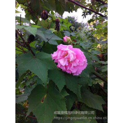 4-5公分落叶小乔木木芙蓉起苗发货 观花型风景树 大量供应