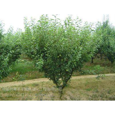 全国大量批发李子树,及其他草坪苗木等品种齐全