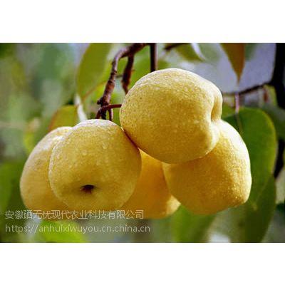 有机富硒梨市场供不应求富硒酥梨给农民带来较大收入