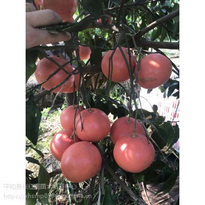 福建三红蜜柚苗场(红肉)三红柚子苗批发价格