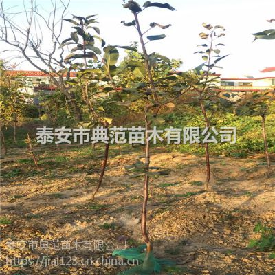 3公分梨树苗 3公分梨树