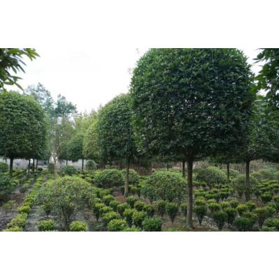 我基地现在很多出售米径8-15厘米高分枝桂花,现在主要以米径10-12厘米为主