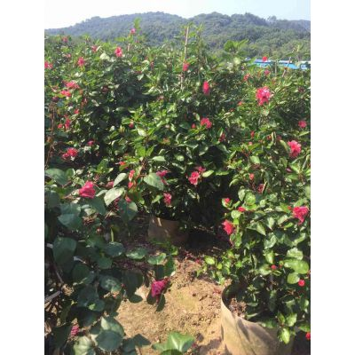 湖南假植重瓣扶桑景观造园,湘潭重瓣扶桑产地种植