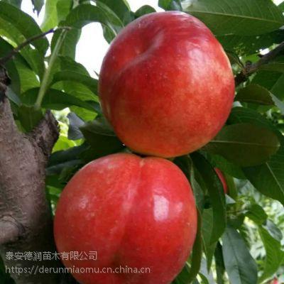 中油蜜玉油桃苗品种介绍 中油蜜玉油桃苗多少钱一颗