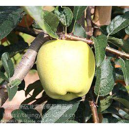 维纳斯黄金苹果树苗,优质保真