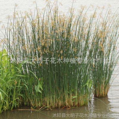 苗圃直销水葱 水生花卉 水体绿化 水生植物 现货 金线水葱批发