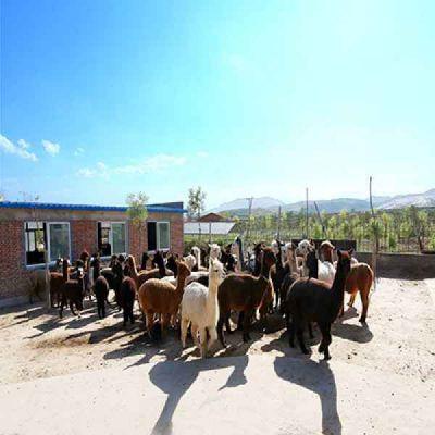 华北羊驼养殖
