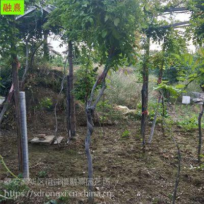 紫藤小苗批发零售 多花爬藤植物1公分2公分以上规格 造型紫藤盆景