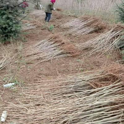 供应银杏苗 陕西汉中货源 银杏苗价格1米高度0.3元起量大质量好价格低