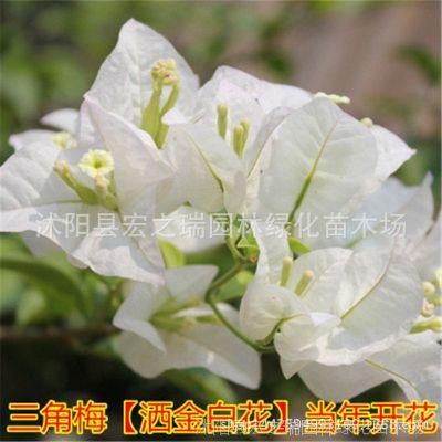 酒金白三角梅苗  三角梅盆栽 三角梅重瓣花苗 三角梅盆景花卉