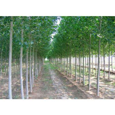贵州杨树苗哪里有厂家 新闻2025杨树苗批发