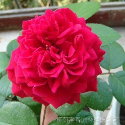 批发红色达芬奇月季苗 精品球状月季 可盆栽 规格齐全 量大优惠