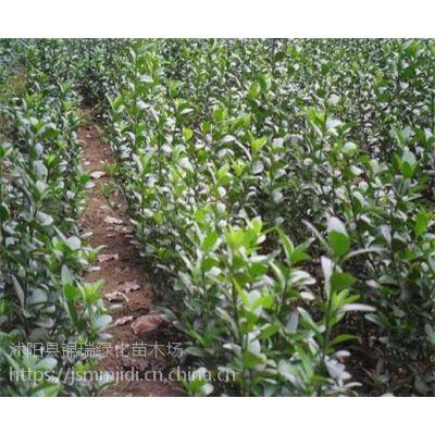 冬青树产地 30公分-90公分高冬青树小苗价格这里更便宜